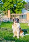 坐在阳光下的愉快的棕色和白色狗 库存照片
