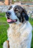坐在阳光下的愉快的棕色和白色狗 免版税库存图片