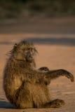 坐在阳光下的狒狒 库存图片