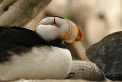 坐在阿拉斯加Sealife中心的有角的海鹦在Seward阿拉斯加 免版税库存照片