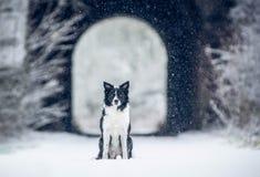 -坐在隧道和它前面的冬天的狗-黑白博德牧羊犬` s下雪 免版税图库摄影