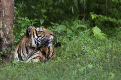 坐在雨林的孟加拉老虎 库存照片