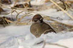 坐在雪冬天的树麻雀 免版税库存照片