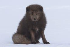坐在雪冬日的司令员的蓝色白狐 免版税图库摄影