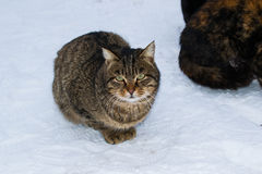 坐在雪的一只离群街道猫在冬天 免版税图库摄影