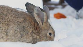 坐在雪的两只兔子吃圆白菜户外在公园 股票视频