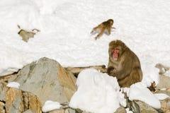 坐在雪的大,公野生雪猴子 库存照片