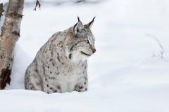 坐在雪的天猫座 免版税库存图片