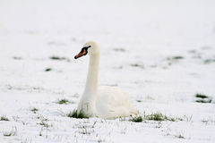 坐在雪的天鹅 库存图片