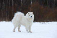 坐在雪的萨莫耶特人 库存照片