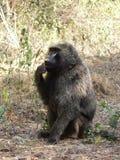 坐在非洲大草原灌木的野生狒狒  免版税图库摄影