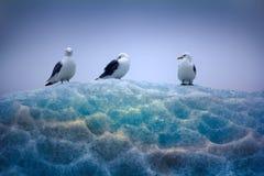 坐在鞋带冰顶部的三趾鸥 免版税库存图片