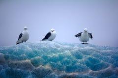 坐在鞋带冰顶部的三趾鸥 库存图片