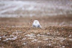 坐在领域的斯诺伊猫头鹰 免版税库存照片