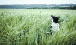 坐在领域的狗 免版税库存图片