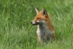 坐在领域的草的一只逗人喜爱的镍耐热铜狐狸狐狸 库存图片
