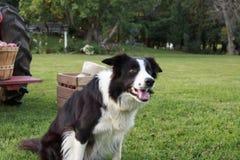 坐在领域的黑白博德牧羊犬在条板箱旁边 免版税库存照片