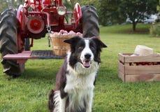 坐在领域的黑白博德牧羊犬 库存图片