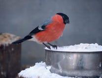 坐在饲养者和看照相机的红腹灰雀 免版税库存图片