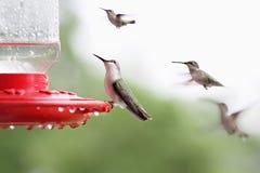 坐在饲养者的红宝石红喉刺莺的蜂鸟 免版税库存照片