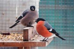 坐在饲养者的红腹灰雀和麻雀用在额嘴的玉米 免版税库存照片