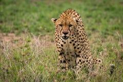 坐在高草的猎豹看下来 免版税图库摄影