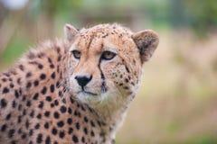 坐在高草的猎豹 免版税图库摄影