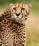 坐在高草的猎豹 库存图片
