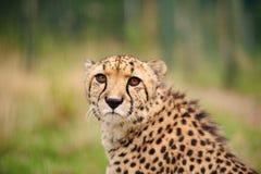 坐在高草的猎豹 免版税库存图片