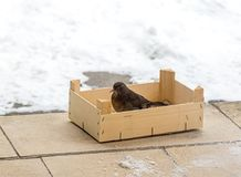 坐在鸟饲养者的欧亚黑鹂 提供冬天的鸟 保护和爱对自然概念 免版税库存照片