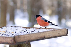 坐在鸟饲养者的欧亚红腹灰雀Pyrrhula pyrrhula画象在冬天 免版税库存照片