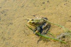 坐在水中的青蛙 免版税图库摄影