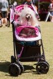 坐在婴儿车的狗哈欠在似犬节日 库存图片
