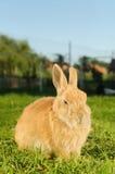 坐在围场的家养的橙色兔子 免版税库存图片