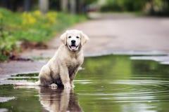 坐在水坑的愉快的金毛猎犬小狗 免版税库存照片
