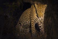 坐在黑暗中的豹子寻找在聚光灯的夜的牺牲者 免版税图库摄影