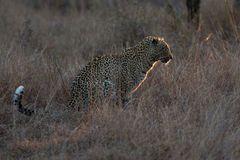坐在黑暗中的豹子寻找在spotligh的夜的牺牲者 图库摄影