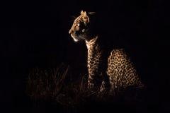 坐在黑暗狩猎牺牲者的豹子 免版税库存图片