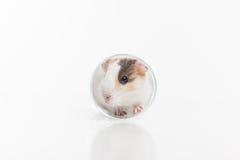 坐在玻璃的滑稽的仓鼠反射在地面 免版税库存照片