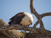 坐在死的树和哺养在鱼, Chobe NP,博茨瓦纳,非洲的巨型非洲鱼鹰画象  免版税库存图片