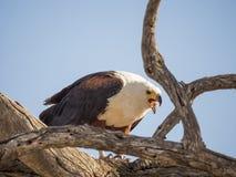 坐在死的树和哺养在鱼, Chobe NP,博茨瓦纳,非洲的巨型非洲鱼鹰画象  免版税库存照片
