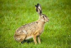 坐在绿色领域的野兔 免版税图库摄影