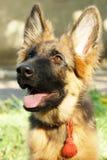 坐在绿草的一只美丽的幼小德国牧羊犬狗小狗的特写镜头画象 库存图片