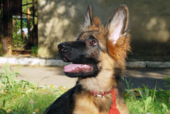 坐在绿草的一只美丽的幼小德国牧羊犬狗小狗的特写镜头画象 免版税库存照片