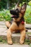 坐在绿草的一只美丽的幼小德国牧羊犬狗小狗的特写镜头画象 图库摄影