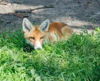 坐在绿草的橙色狐狸 图库摄影