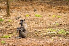 坐在Amboseli同水准大草原的病和无毛的狒狒  库存图片