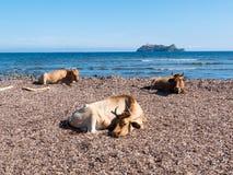 坐在Barcaggio地中海海滩的母牛  免版税库存照片