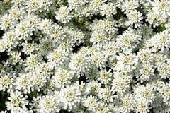 坐垫屈曲花属植物sempervirens雪 免版税库存图片