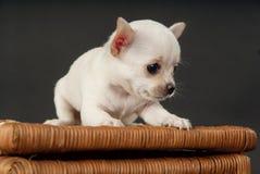 坐对推车的白色小奇瓦瓦狗小狗 免版税图库摄影